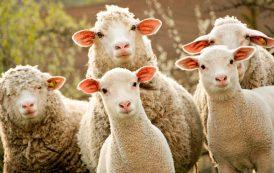 Овцеводческий комплекс появится в Курской области