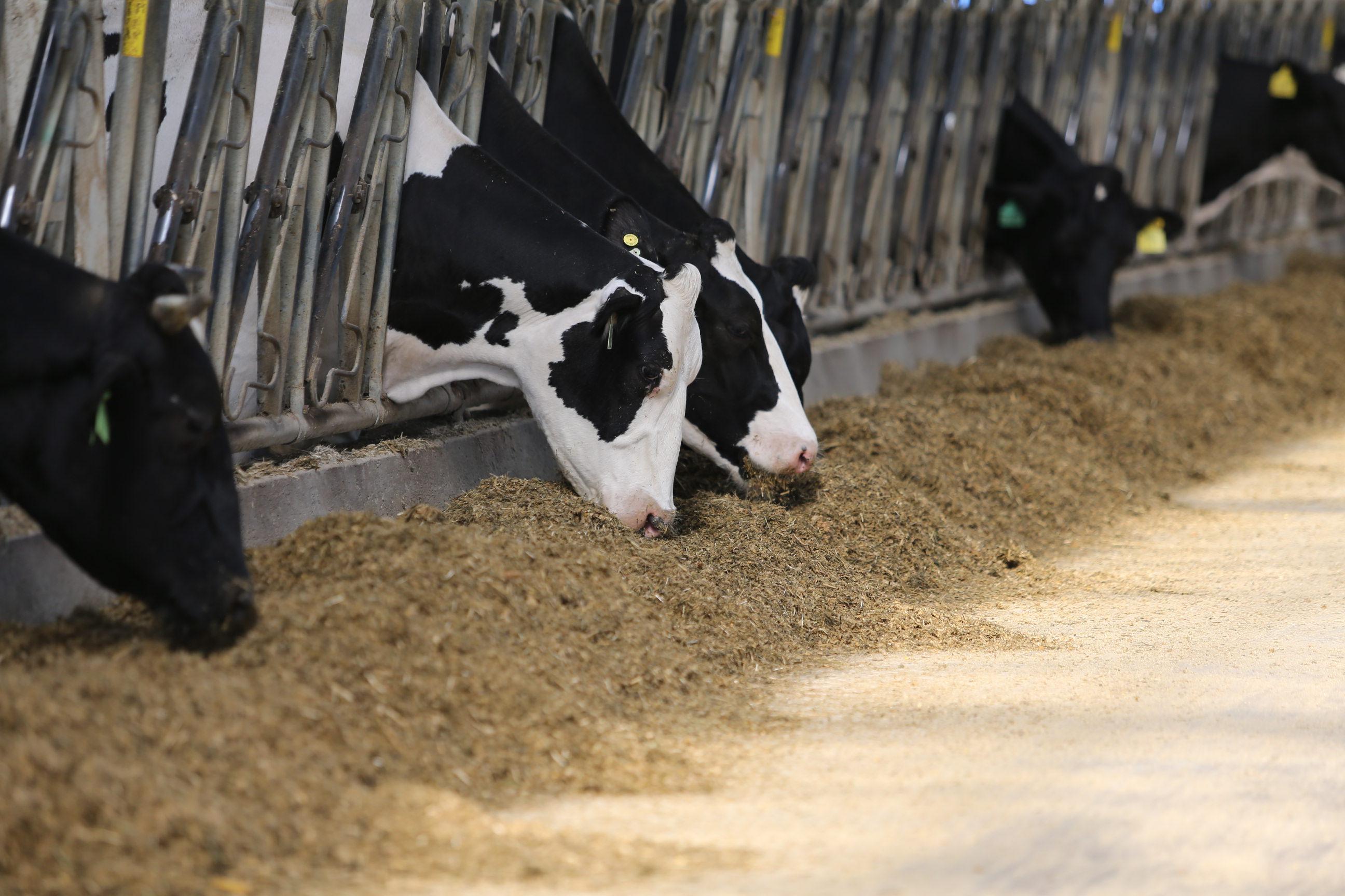 В Пензенской области растет поголовье молочного скота