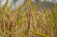 BENEO представляет новый органический крахмал из восковидного риса