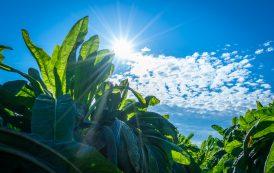 BENEO предлагает новое органическое пищевое волокно из цикория